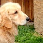 犬の「おすわり」のしつけ方のコツ