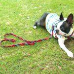 犬が吠えるのは大地震の前兆って本当?