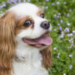犬の「お座り」の教え方