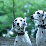 犬が「待て」の時によだれが出るのは何故?