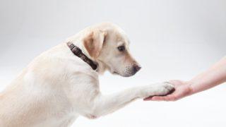 成犬のやり直しトイレトレーニングのやり方